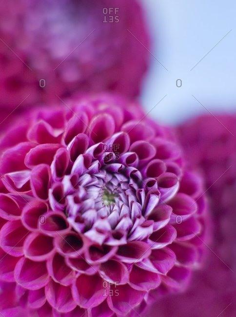 Dahlia flowers (Dahlia sp) - Offset