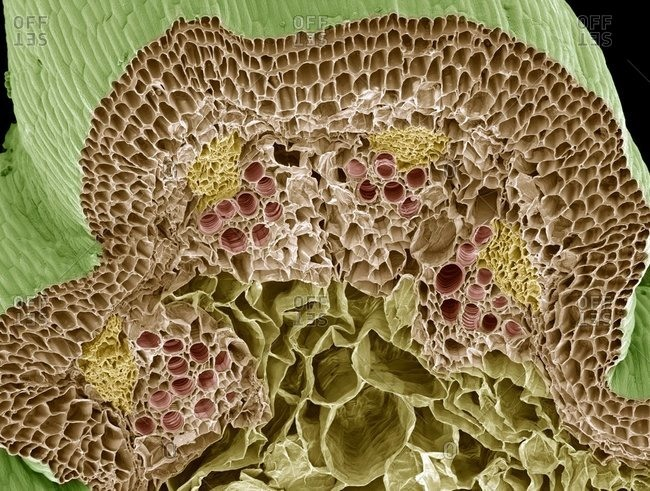 Color scanning electron micrograph of a freeze-fractured Nasturtium (Tropaeolum sp.) stem, showing numerous vascular bundles (such as at upper center) with an inner xylem (pink) and outer phloem (yellow).