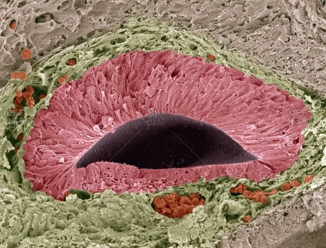 Color scanning electron micrograph of a section through a foetal olfactory (smelling) sense organ known as the vomeronasal organ (VNO), or Jacobson's organ.