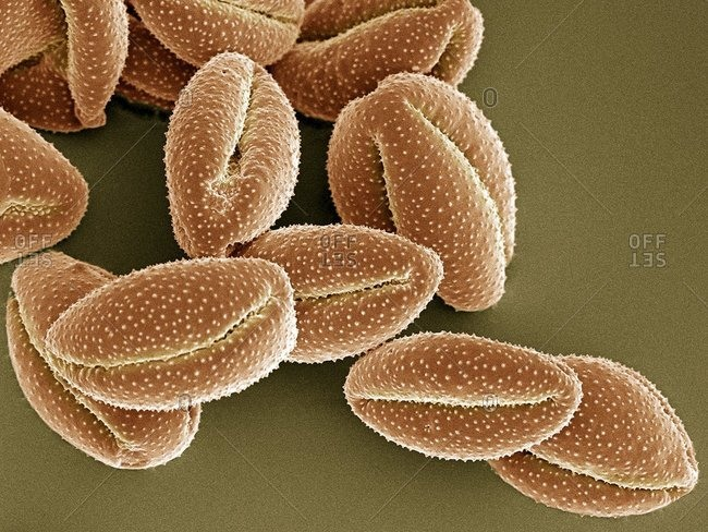 Magnification view of Clematis montana pollen grains under a Color scanning electron micrograph