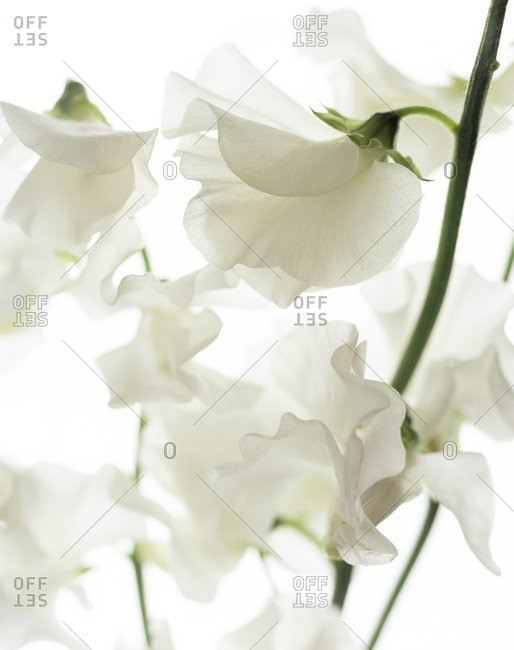 Close up view of sweet pea flowers