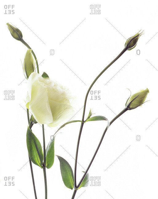 Lisianthus (Eustoma sp.) flowers and buds