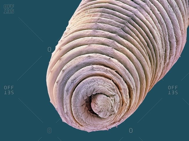 Earthworm (Lumbricus terrestris), Color scanning electron micrograph. Its segmented body is clearly seen. Spikes on the body aid movement.