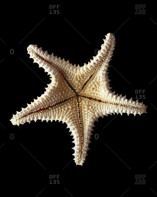 Overhead view of a Starfish skeleton