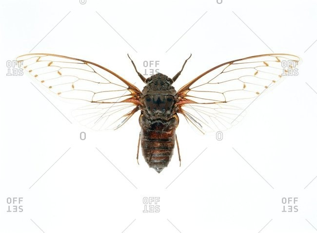 Overhead view of a Cicada