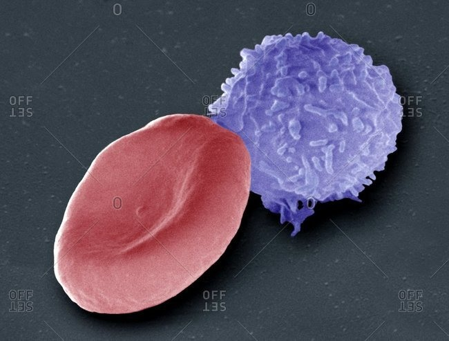 Color scanning electron micrograph of a human red blood cell (erythrocyte, red) and a white blood cell (leucoocyte, blue).