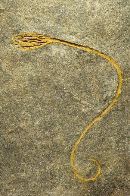 Crinoid, or sea lily, fossil. This fossil is 480 million years old and was found in the Czech Republic.