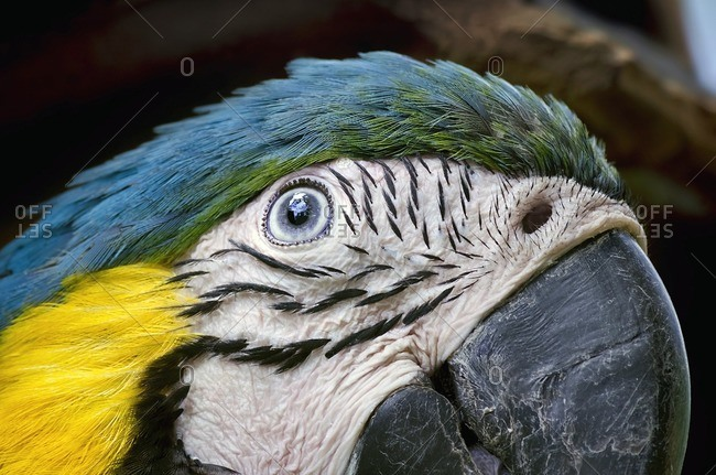 Close-up of a macaw's head.