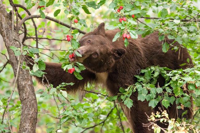 Brown bear eating rose hips