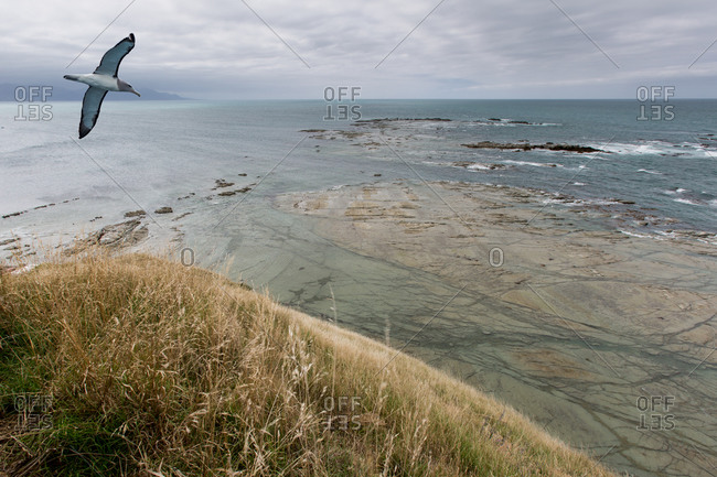 Albatross gliding above coastline.
