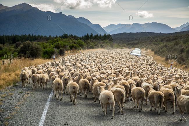Flock of sheep crossing rural road