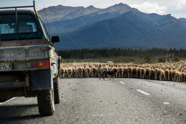 Rear view of car waiting for flock of sheep crossing