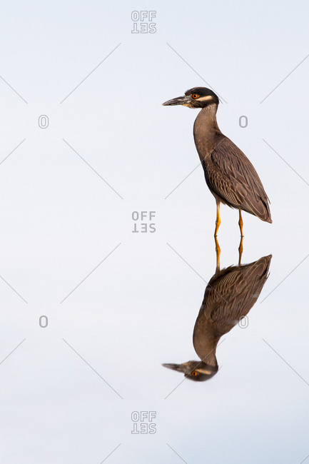 Heron on white background