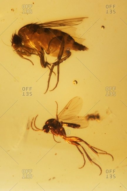 Insects fossilized in amber.