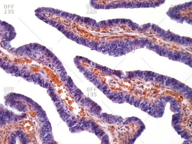 Light micrograph of a cross-section through a fallopian tube.