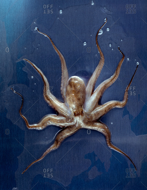 Octopus on blue background - Offset