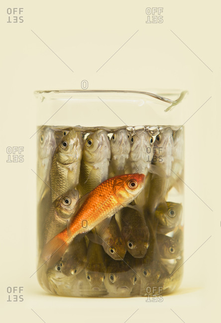 Goldfish in beaker with grey fish
