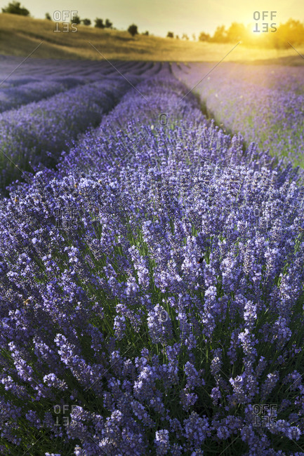 Close up of lavender crops in field