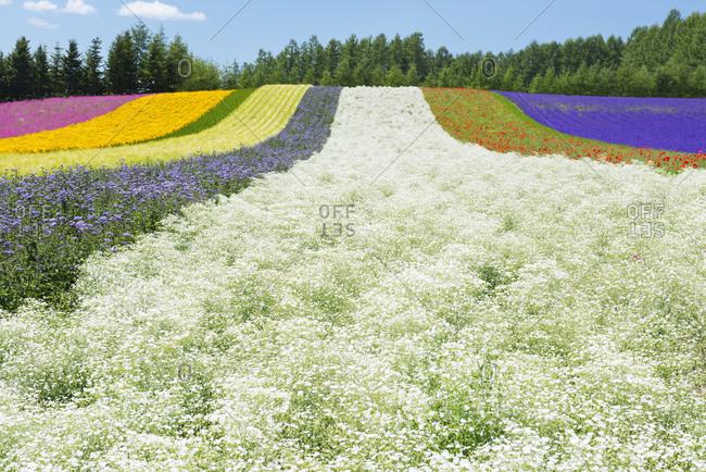 Field of multicolor flowers, lavender, poppy, baby's breath, green wheat and garden cosmos in Hokkaido, Japan.
