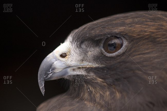 A close up of a  Swainson's Hawk (Buteo swainsoni)