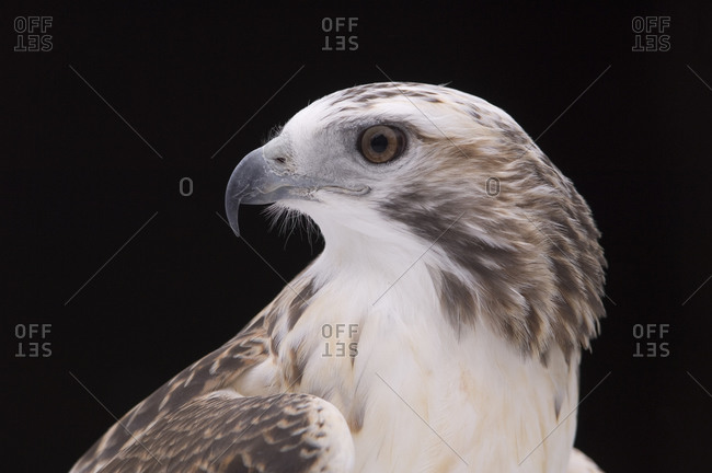 A close-up of a Krider's Red-tailed Hawk