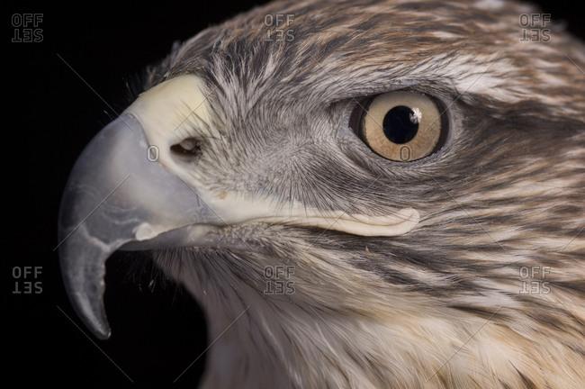 A captive Ferruginous Hawk (Buteo regalis)