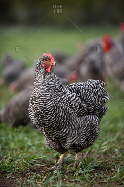A Barred Plymouth Rock Chicken