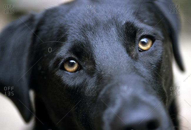 Close view of a black lab's face