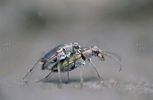Two endangered Salt Creek Tiger Beetles mating