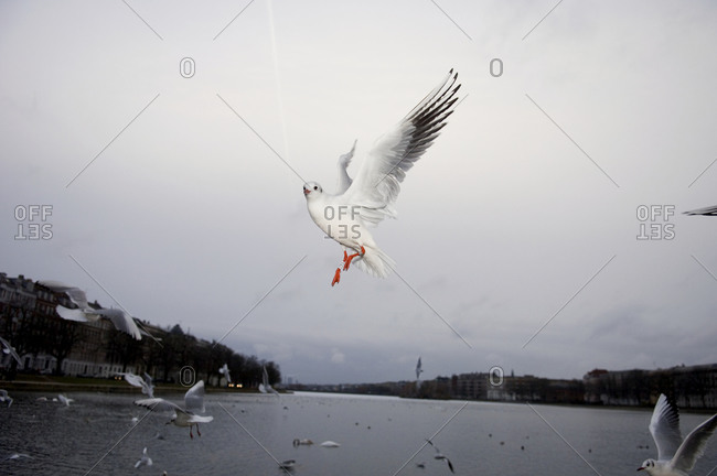 Seagulls flying in Copenhagen, Denmark