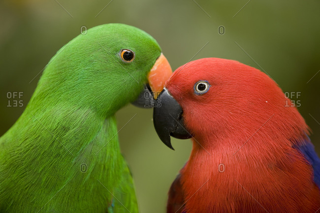 Close up of male and female Eclectus parrots