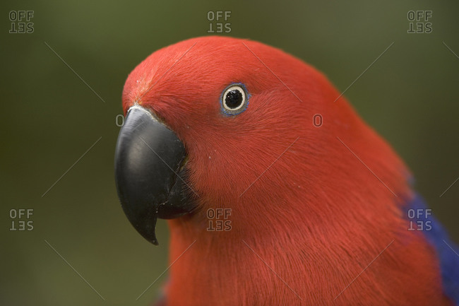 Close up of a  female Eclectus Parrot