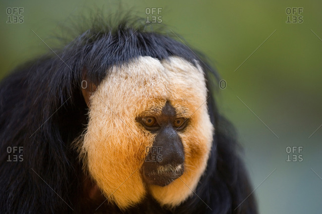 A White Faced Saki (Pithecia pithecia)