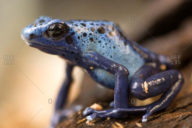 A Poison Dart Frog (Dendrobates azureus)