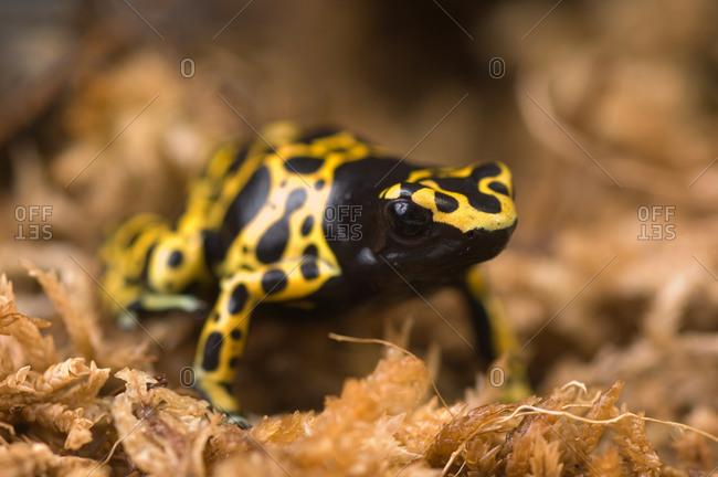 A Bumblebee or Yellow-backed Poison Dart Frog, Dendrobates tinctorius