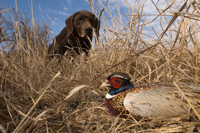 A German Shetland finds a Ring Necked Pheasant (Phasianus colchicus)
