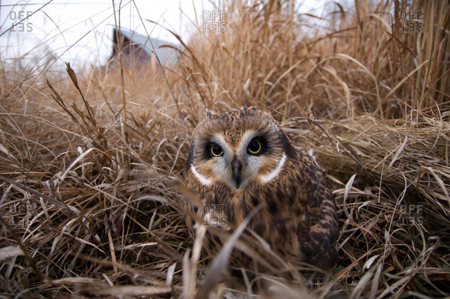 Short-eared Owl (Asio flammeus) a raptor recovery center in Nebraska