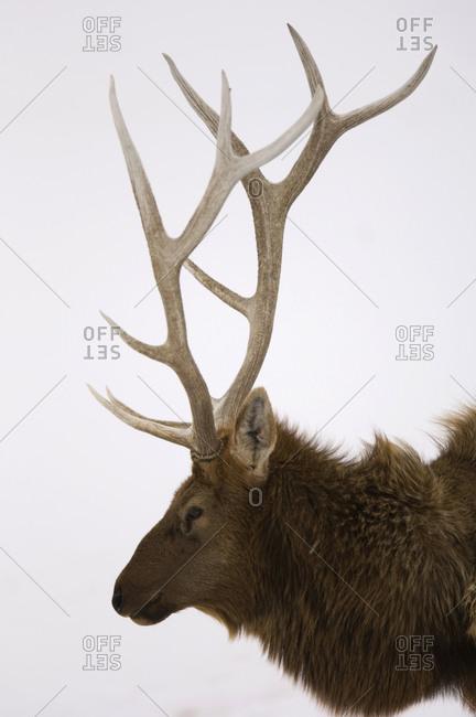 Profile portrait of an elk
