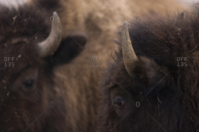 Two bison stand together in Nebraska