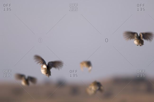 Sharptail Grouse take flight in Nebraska