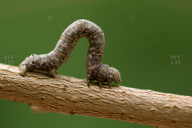 A moth caterpillar inches along a tree branch