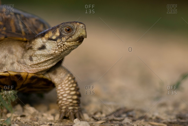 An ornate box turtle out for a walk