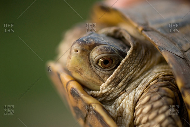An ornate box turtle hides in it's shell