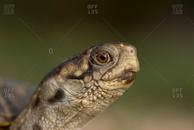 A portrait of an ornate box turtle