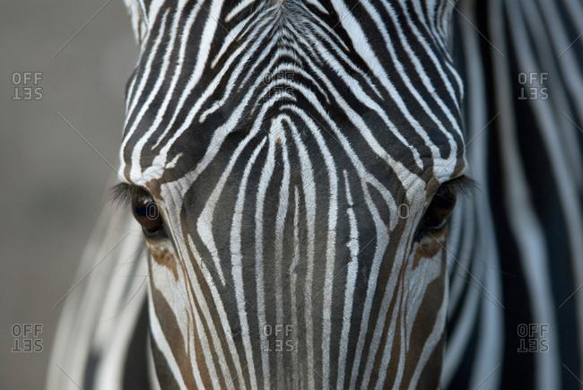 A Grevy's zebra