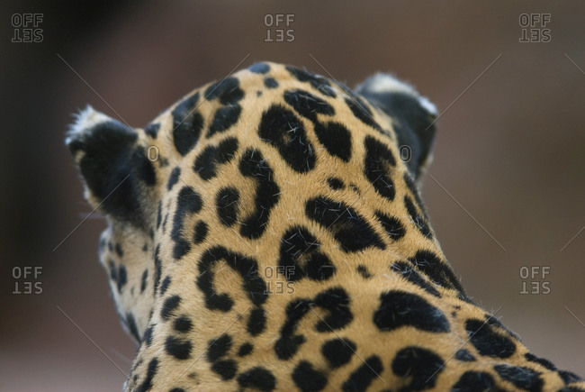 A jaguar from behind