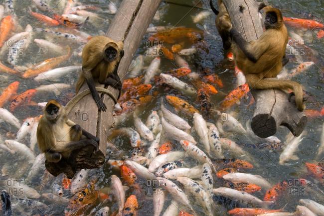 Geoffroy's spider monkeys with koi fish
