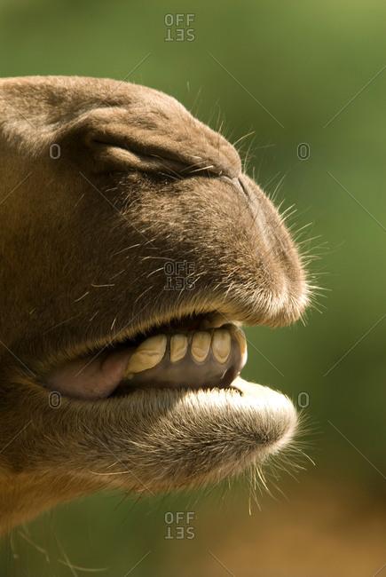 A bactrian camel