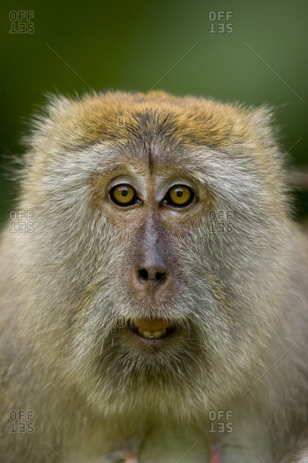 A young male Long-tailed Macaque (Macaca fascicularis) in the wild