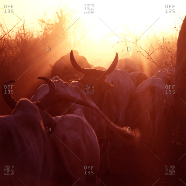 Cows are driven into a Karimojong kraal near Matany, Uganda